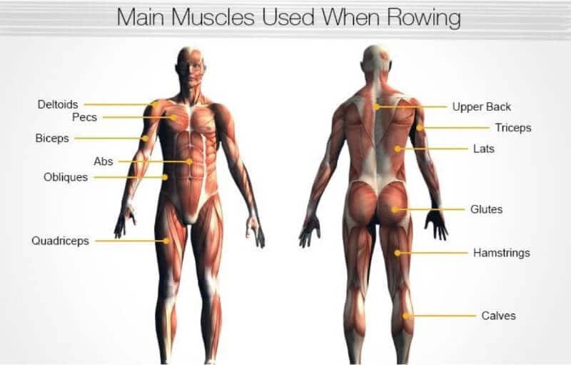 Different muscles involved in rowing
